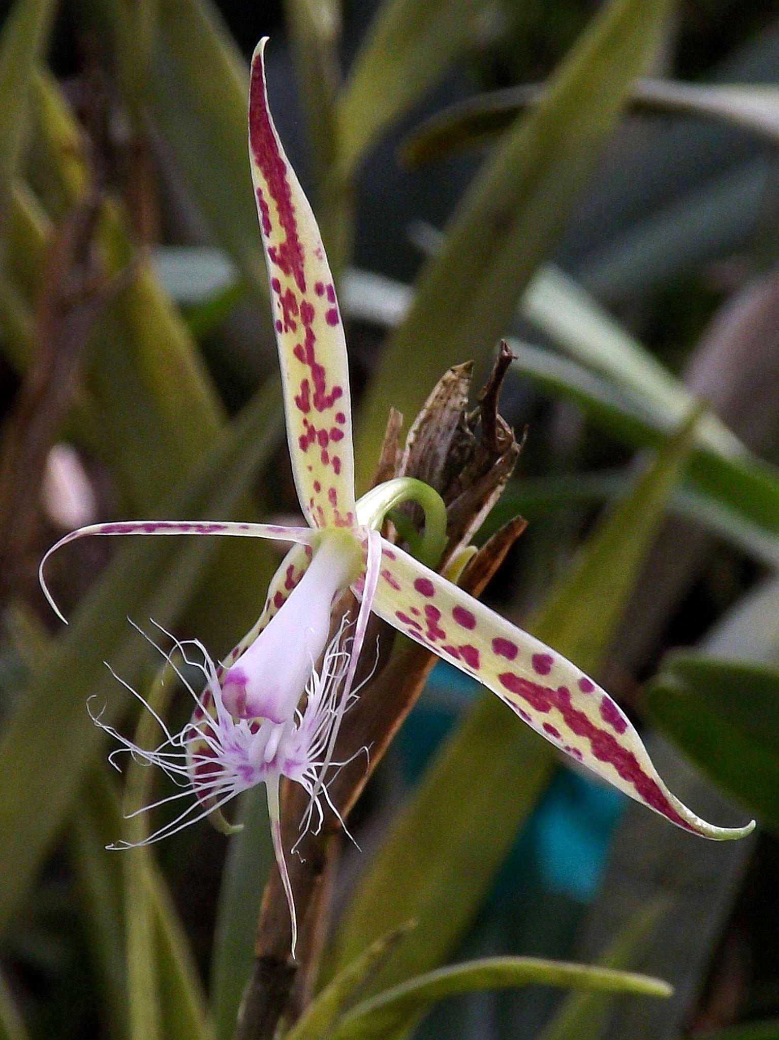 Epidendrum criniferum only orquids pinterest