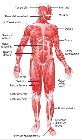Human Muscular System Diagram Muscular Anatomy Pinterest Human