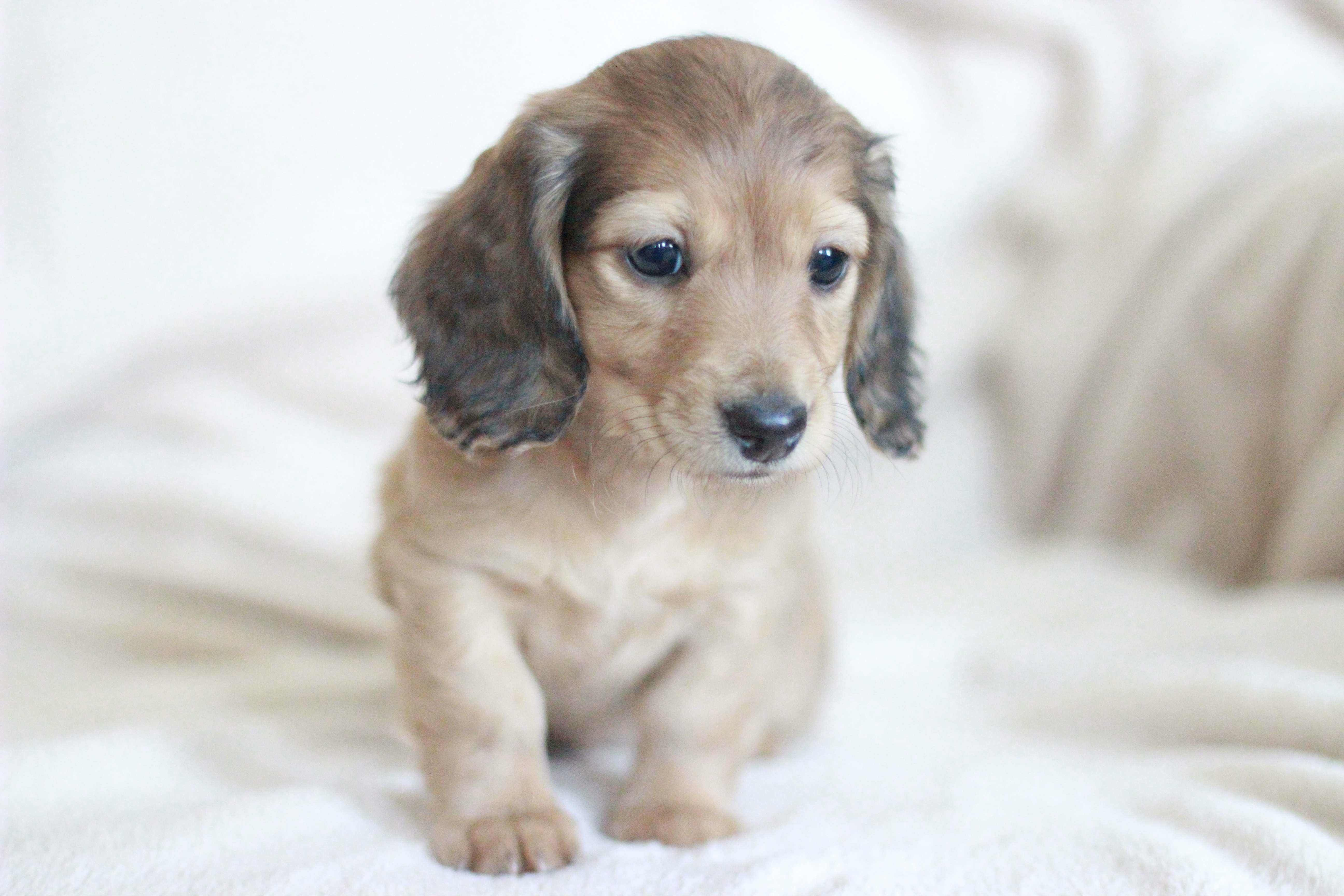 Elizabeth English Cream Dachshund Puppy Puppies Miniature