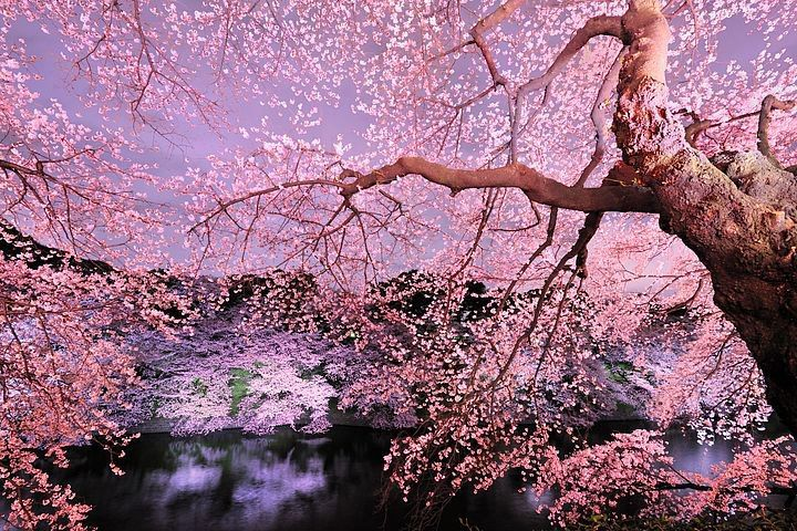 Pin By Kenichi Muto On Japan Trees To Plant Cherry Tree Nature