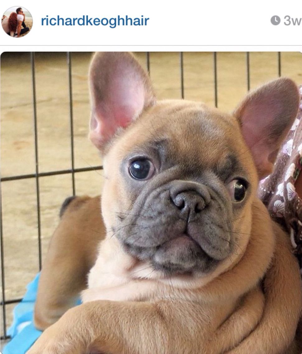 French Bulldog Puppy A Christmas Gift For Richard Keogh French