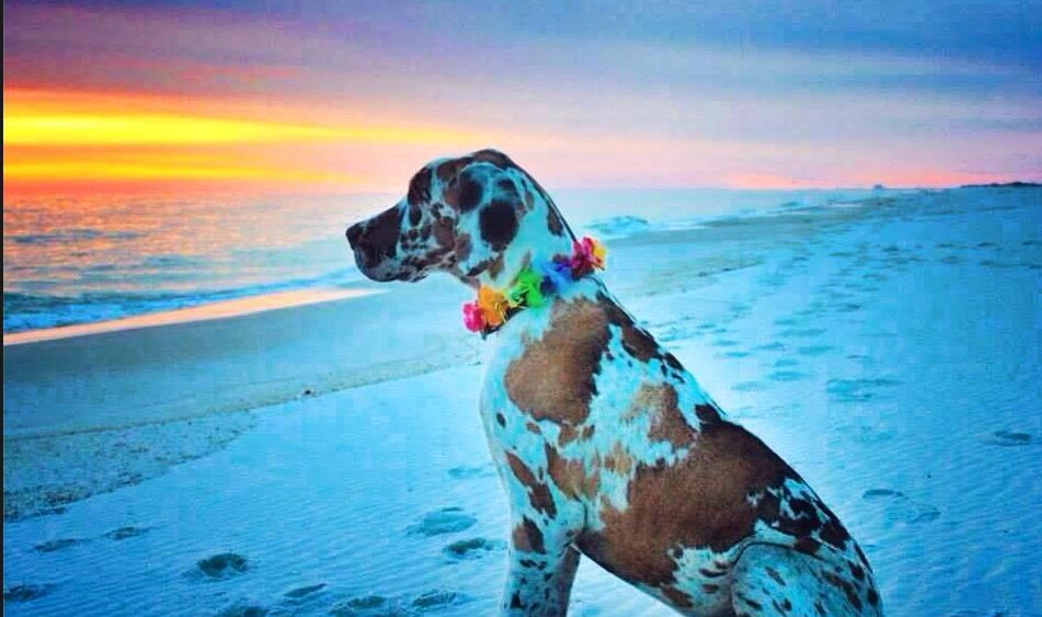 Thresher The Fawnequin Great Dane Takes In A Beautiful Sunset On