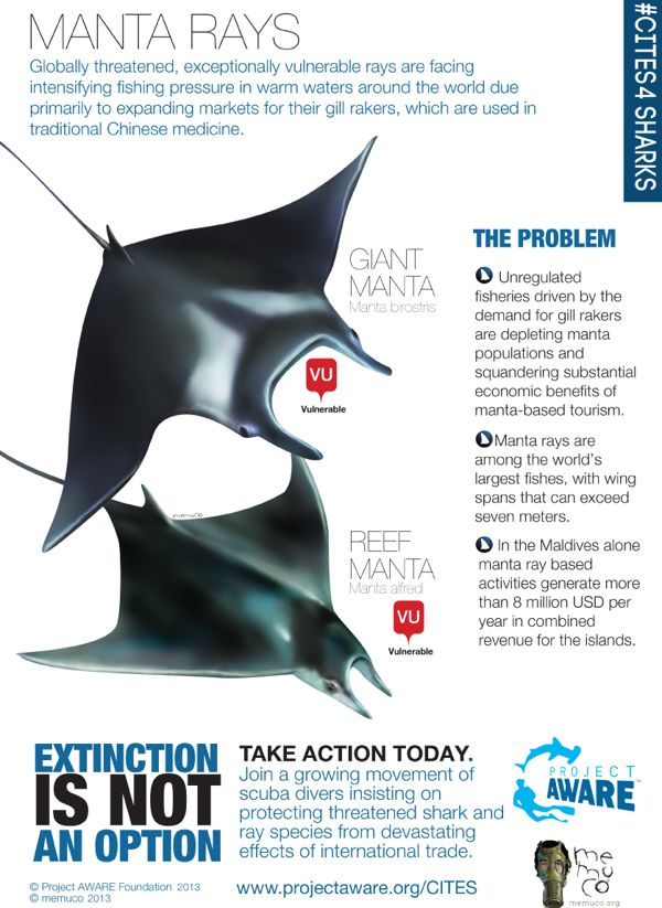 Manta Rays Infographic By Memuco I Project Aware Cites4sharks No