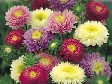 Callistephus Chinensis Aster Single Rainbow Seed In 2020 Rare Flowers Flower Seeds Flower Pictures