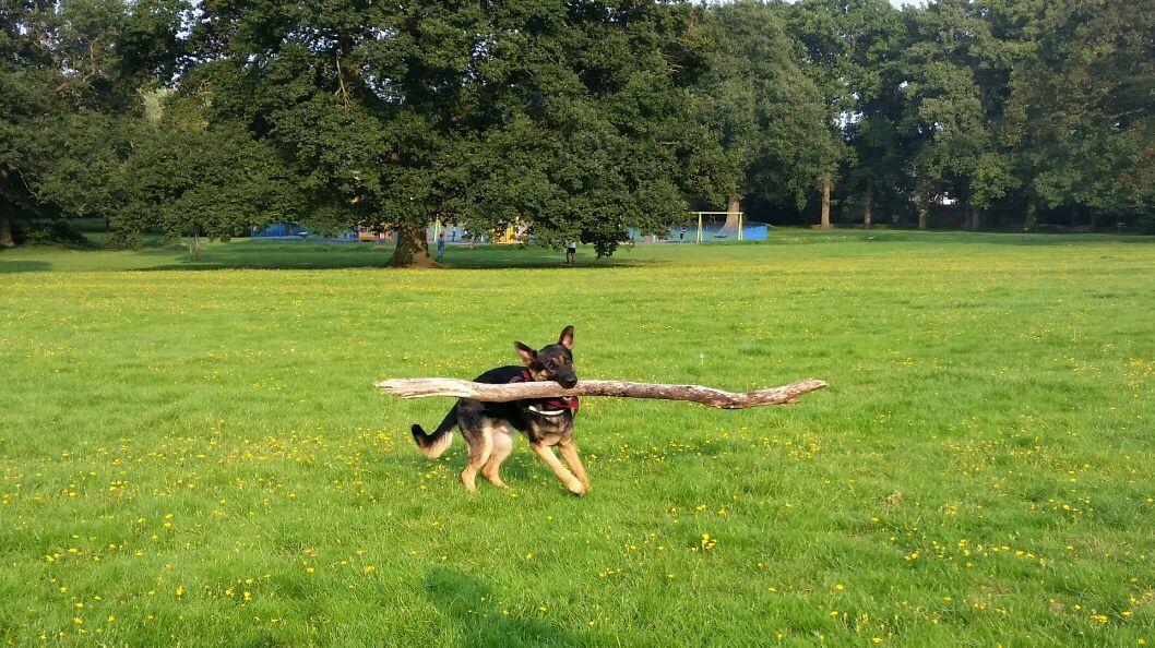Royal Canin Breed Health Nutrition German Shepherd Puppy Dry Dog