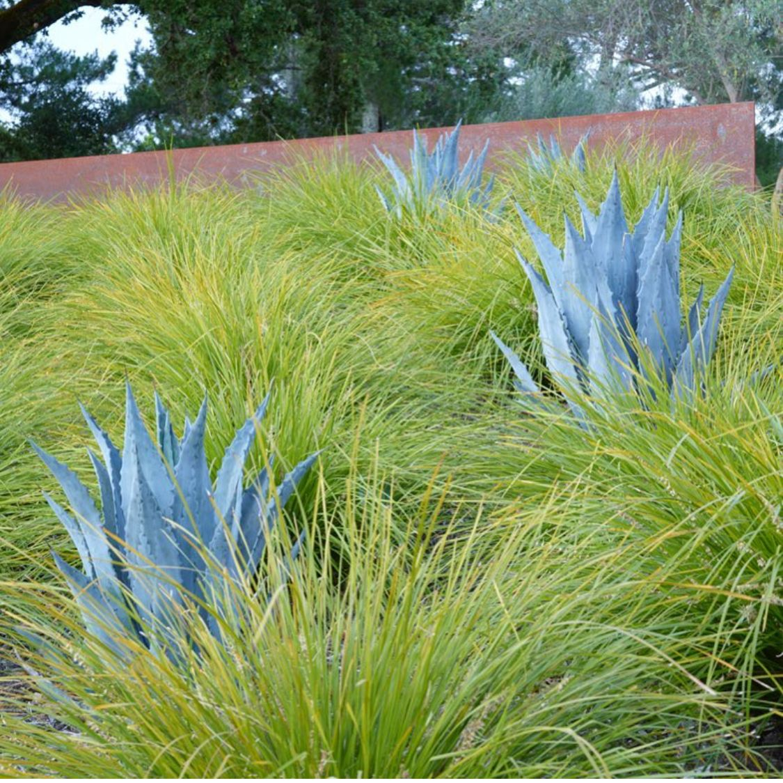 Grasses And Agave Amazing Gardens Lomandra Garden Inspiration