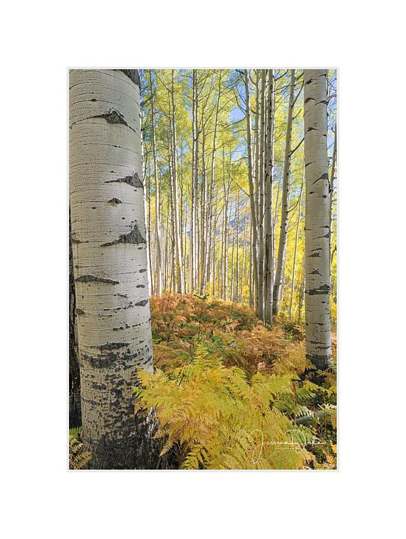 Funky Aspen Trees Wall Art Image Collection - All About Wallart ...