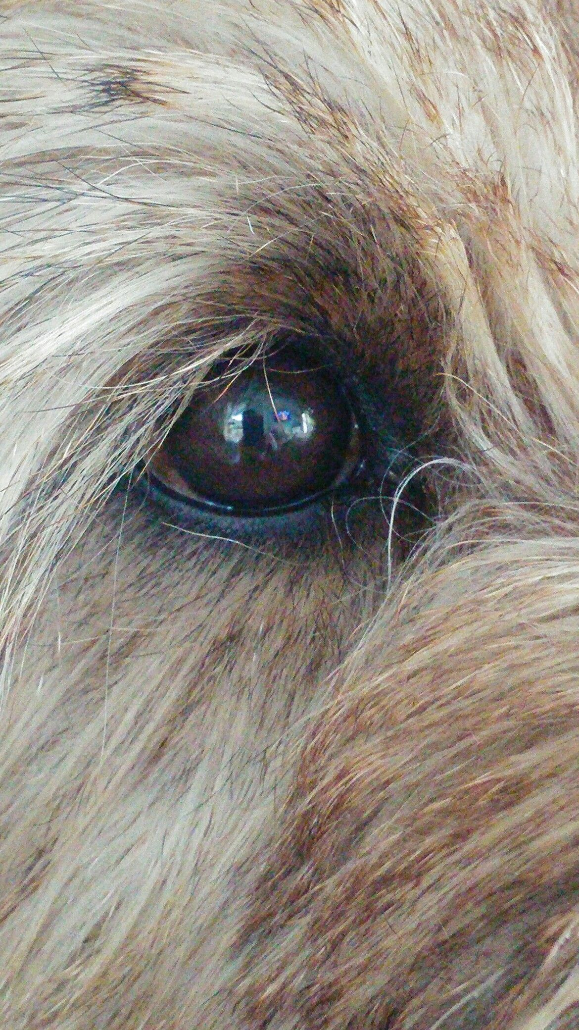 Pin By Mcclan On Cairn Terrier Yorkshire Terrier Puppies Norfolk Terrier Yorkshire Terrier Puppy Yorkie