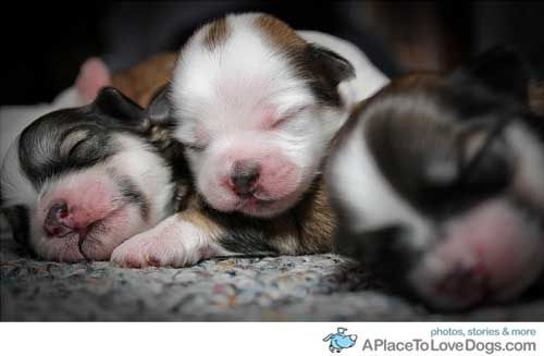 Shih Tzu Newborn Puppies Google Search Cute Animals Puppies