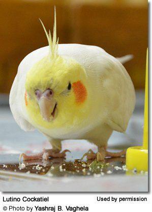 Food For Smaller Parrots Such As Cockatiels Lovebirds Parrotlets Etc Best Diets Cockatiel Cockatiel Care
