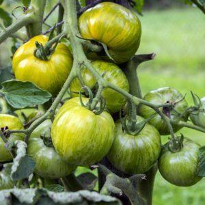 Grüne Tomaten: Sorten, Reifezeit & Pflanztipps – Plantura