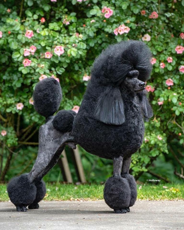 Beautiful Black Standard Poodle Poodle Black Standard Poodle