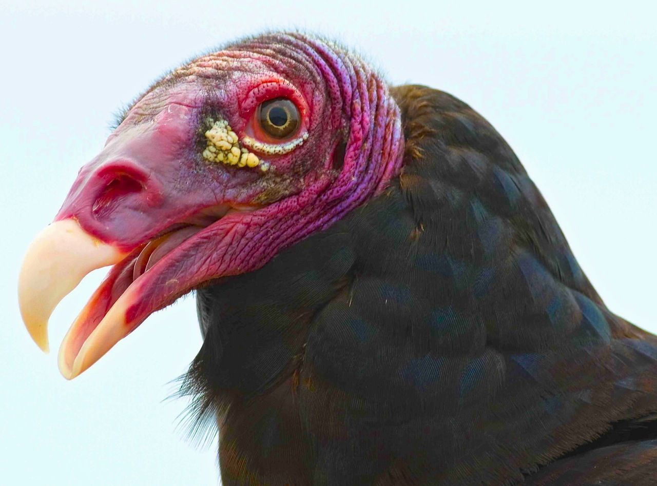 Warts All The Turkey Vulture In All His Glory Weird Birds Vulture Pet Birds