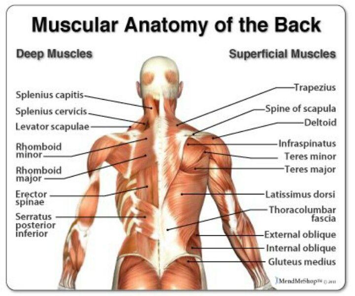 Muscle Anatomy, Muscle Strain, Back