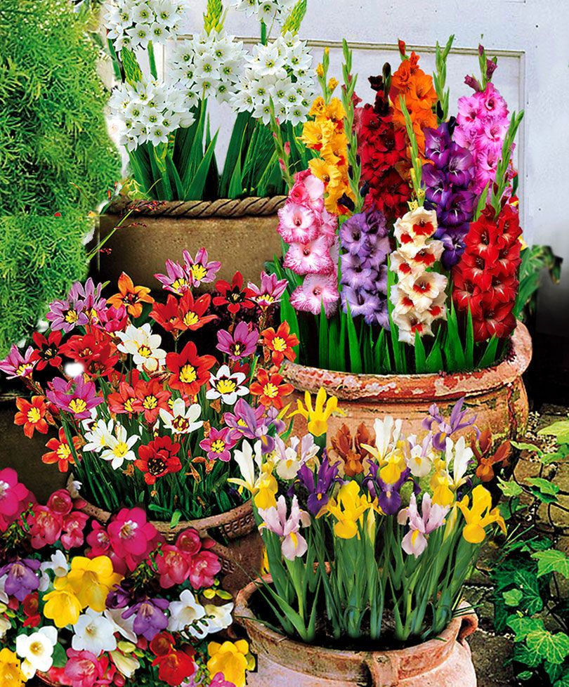 100 Summer Flowering Bulbs Flower Bulbs From Spalding Bulb My