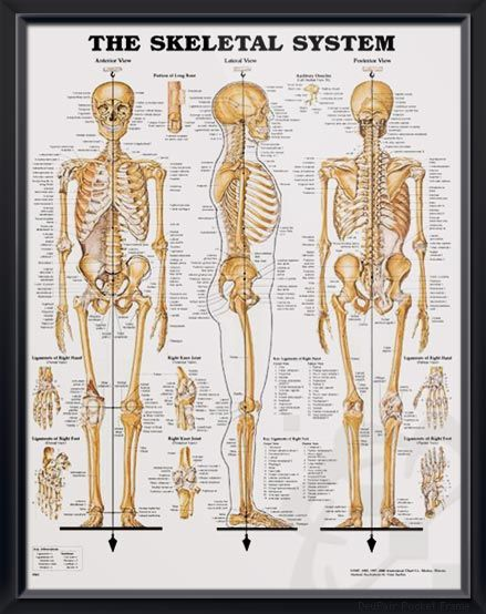 The Skeletal System Chart 20x26 | 人体・骨格・筋肉 | Pinterest