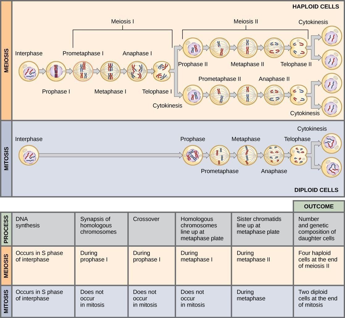 Mitosis Vs Meiosis Worksheet Answers This Illustration