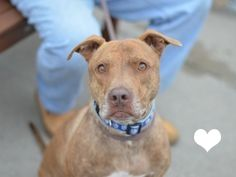 SAFE 11-21-2015 --- Brooklyn Center BILL aka LINKS – A0961306  ***RETURNED 10/13/15***  NEUTERED MALE, BROWN, AM PIT BULL TER, 4 yrs OWNER SUR – ONHOLDHERE, HOLD FOR ID Reason ABANDON Intake condition UNSPECIFIE Intake Date10/13/2015 http://nycdogs.urgentpodr.org/bill-aka-links-a0961306/