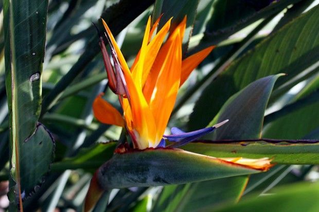 How To Treat A Scale Infestation On A Bird Of Paradise Plant Plants Birds Of Paradise Plant Shade Tolerant Plants