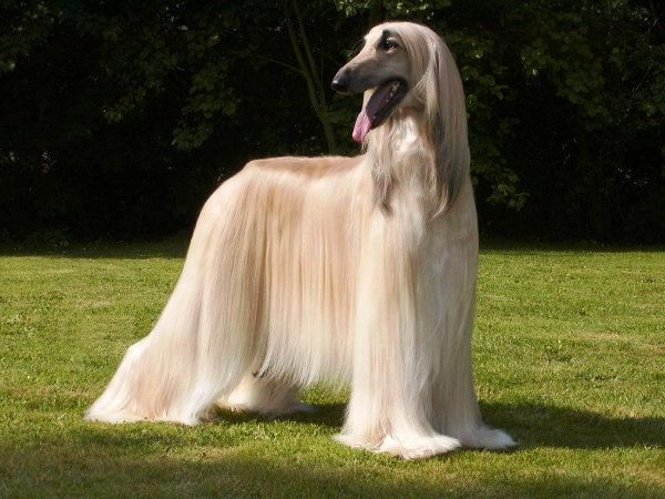 Afghan Afghan Hound Long Haired Dogs Hound Dog Breeds Long Haired Dog Breeds