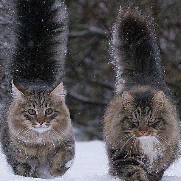 Image result for norwegian forest cat