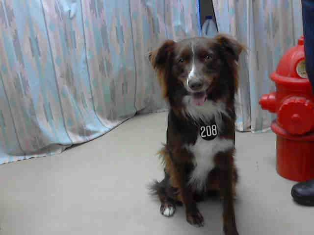 Houston Tx This Dog Id A406033 I Am A Neutered Male Chocolate And White Australian Shepherd Mix The Shelter Staff Think I Am About 1 Year And 6 M