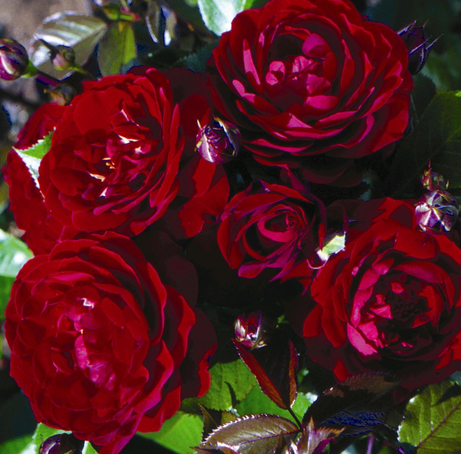 Cherrie Rose Pics