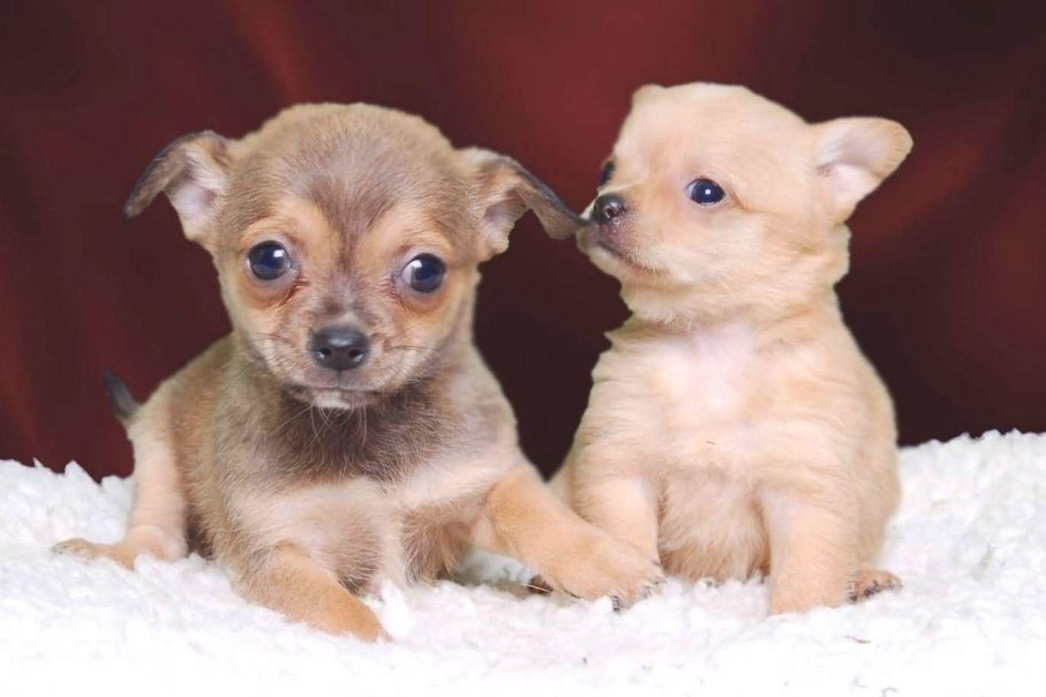 Chihuahuas Wallpaper Beautiful Big Brown Eyes Chihuahua Puppies Cute Chihuahua Chihuahua