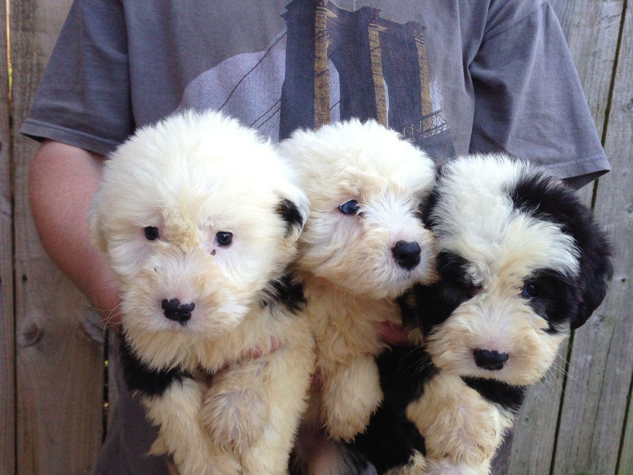 old english sheepdog pups hartlepool county durham pets4homes