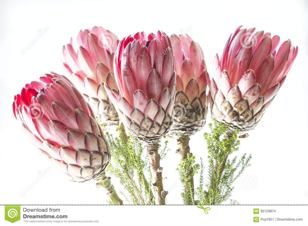 Photo About Bunch Of Protea Flowers Against White Background Image Of Bush Protea Bunch 92129874 In 2020 Flowers White Background Protea