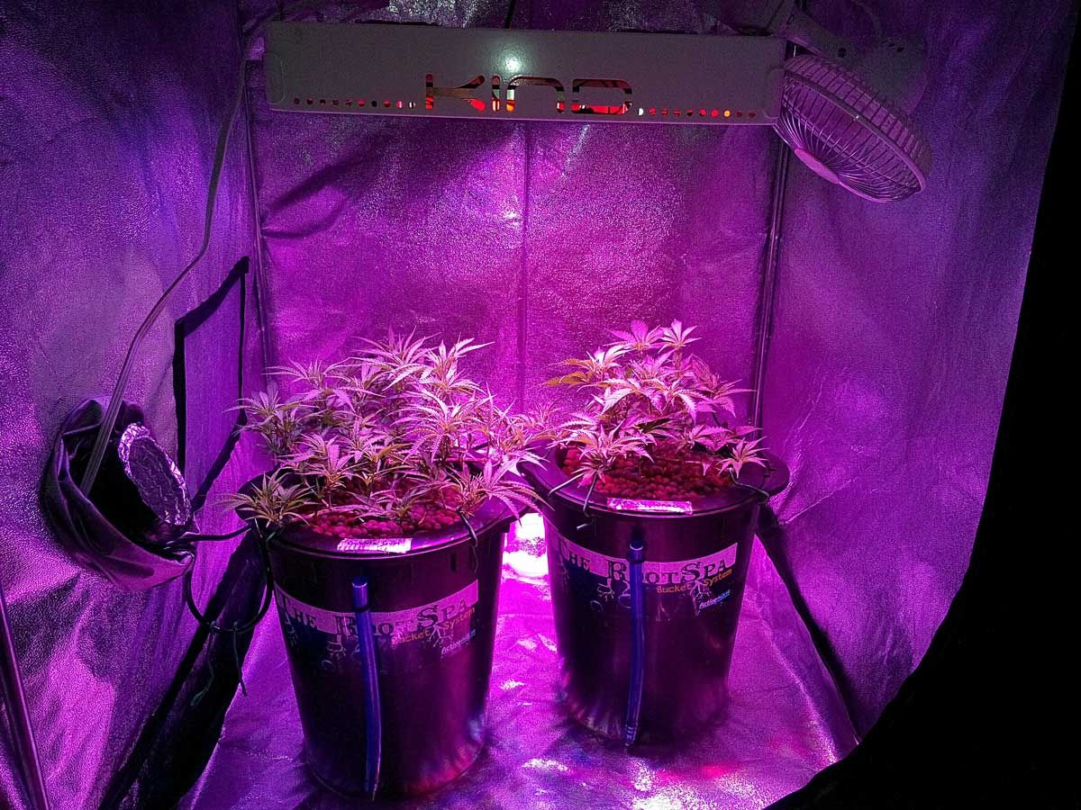 Two cannabis plants growing under an LED grow light in a grow tent & Two cannabis plants growing under an LED grow light in a grow tent ...