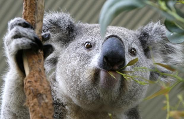 koala jí