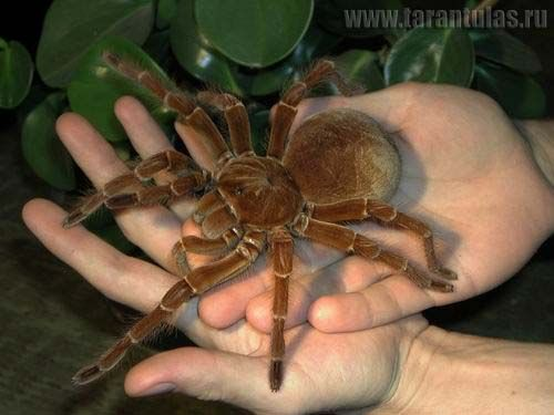 The Goliath Bird Eating Spider Is The Worlds Biggest Spider By Mass This Giant Spider Is Found In The Rain Forest Regions Of Northern South America And Is