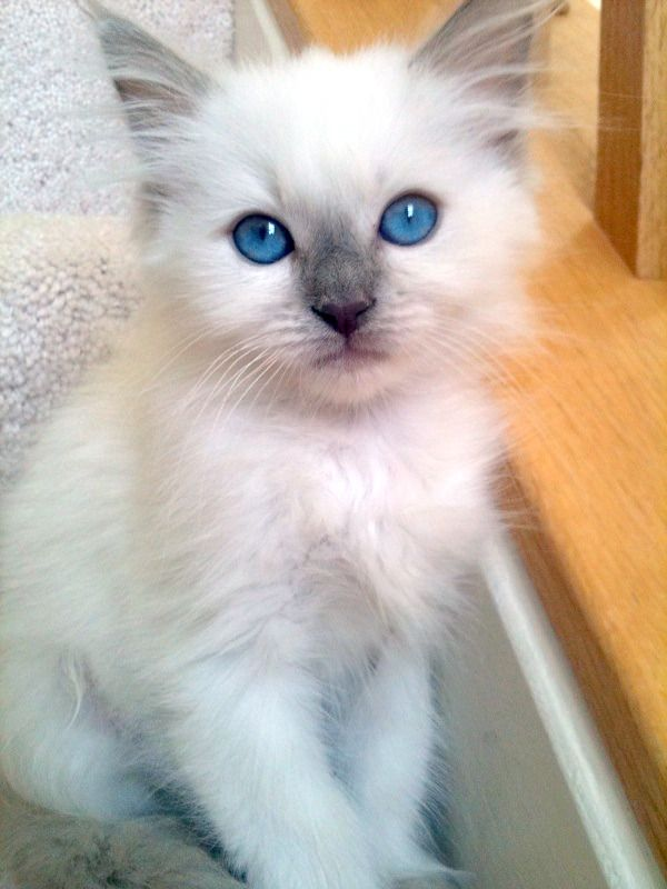 Angel Girls Ragdoll Cats Kittens Located In Washington Dc Metro Area Pretty Cats Kittens Beautiful Cats