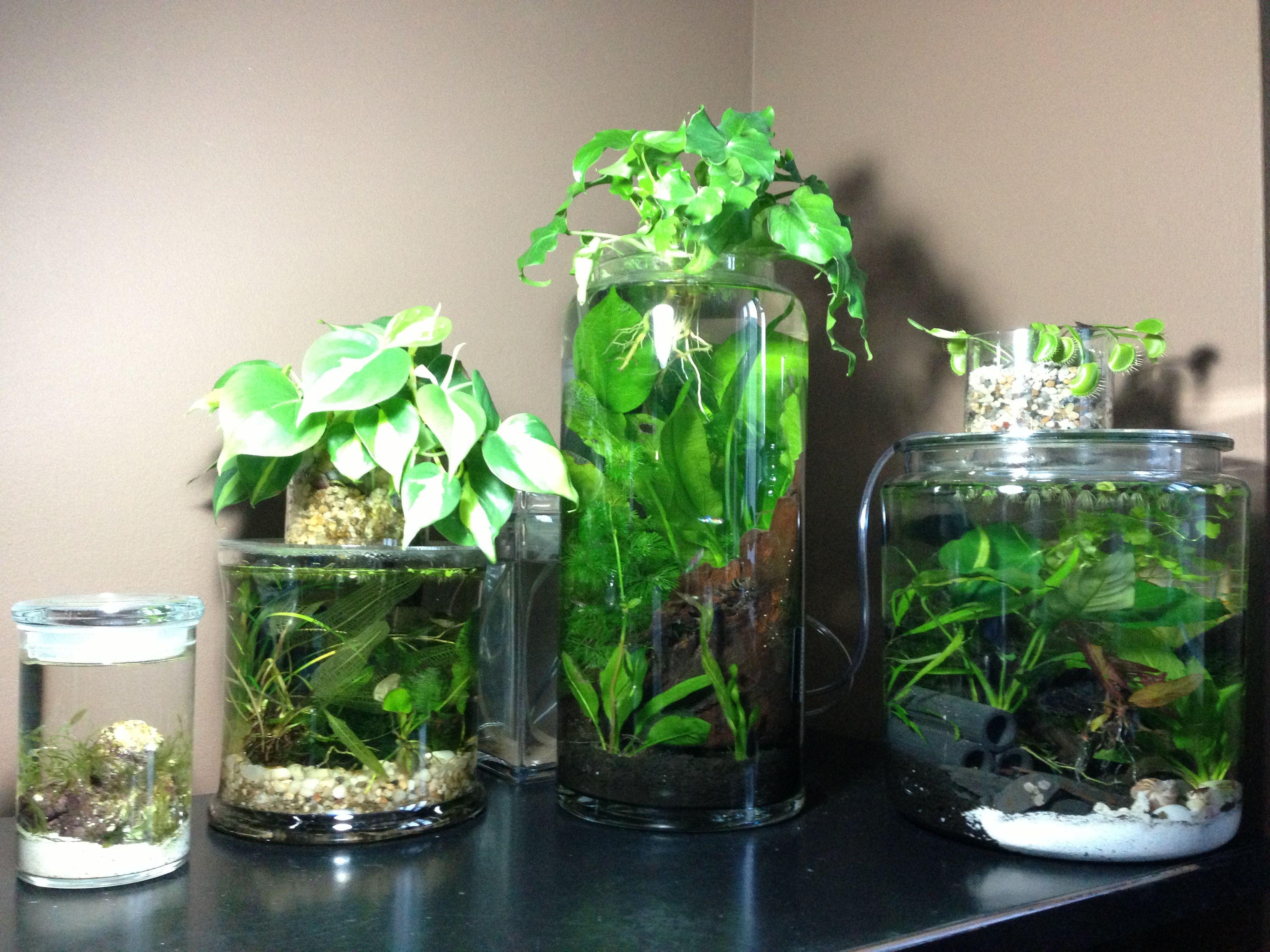 Vegetarian freshwater aquarium fish - 1 Saltwater Jar Far Left And 3 Pico Freshwater Planted Tanks