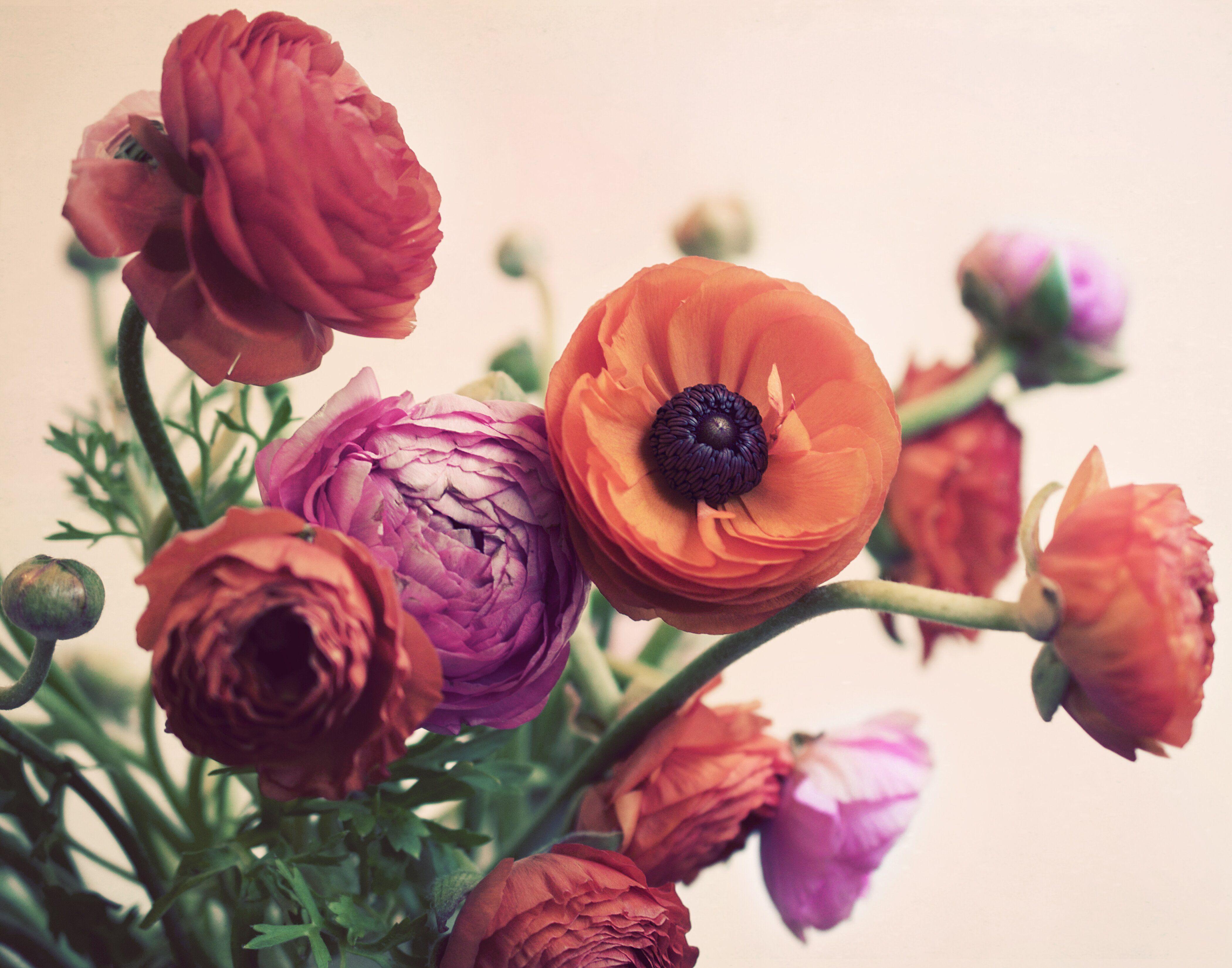 Ranunculus Flower Images