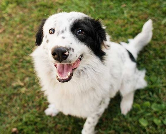 12 Imperative Border Collie Training Steps And Commands For Pet