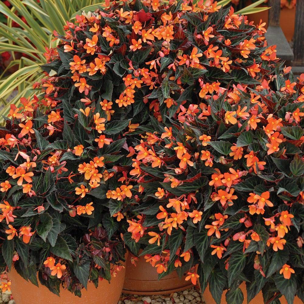 Begonia 'Glowing Embers' Thompson & Annual