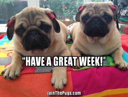 Have A Happy New Week Pugs Happy New Week Pug Love