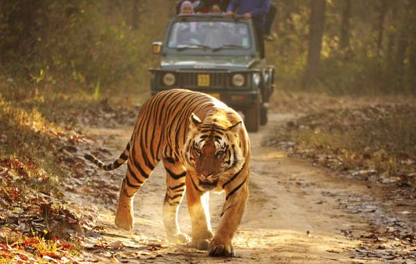 La principal causa de la devastadora disminución en el número de tigres de la India fue la caza colonial y de élites, no la presencia de pueblos tribales que han convivido con estos animales durante milenios.