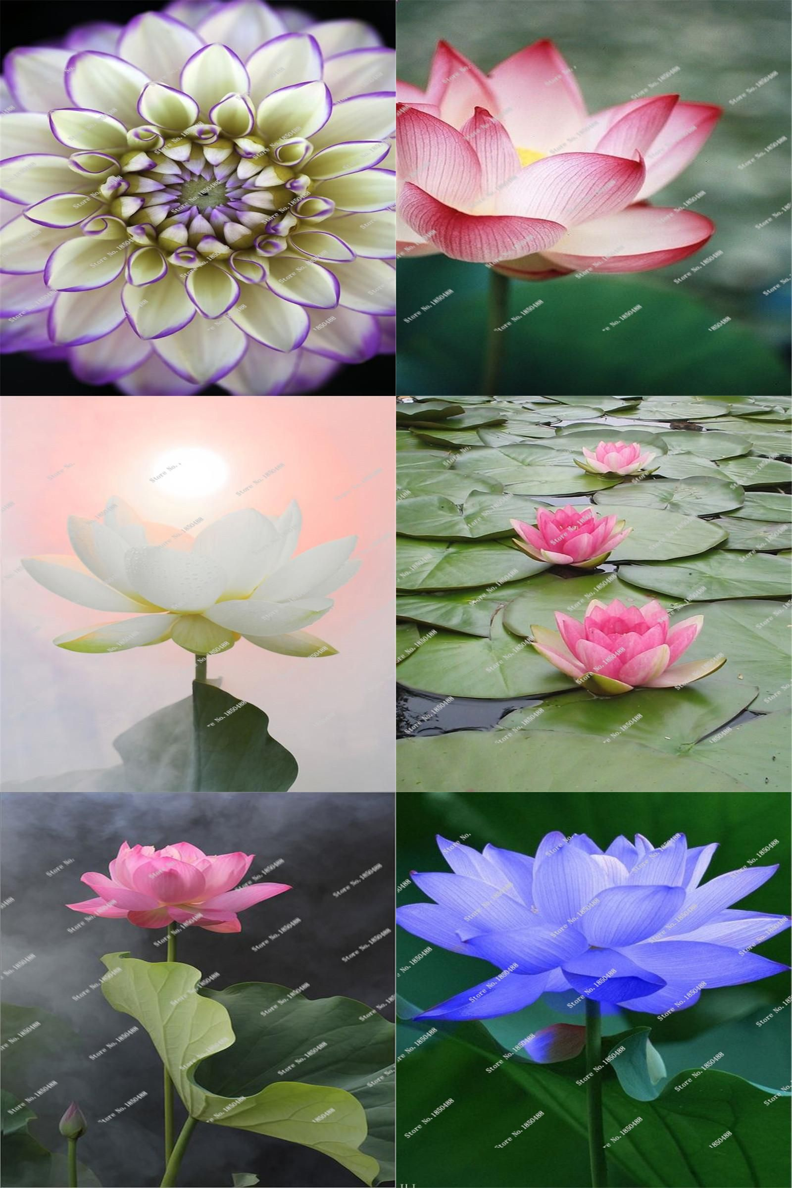 Visit to Buy] 5 Pcs / Bag Lotus Flower Seeds DIY Potted Plants ...