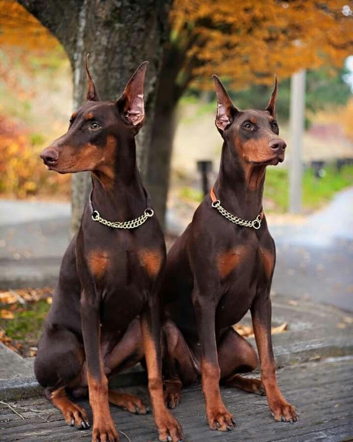 Doberman Dogs Doberman Dogs Doberman Puppy Dog Pounds