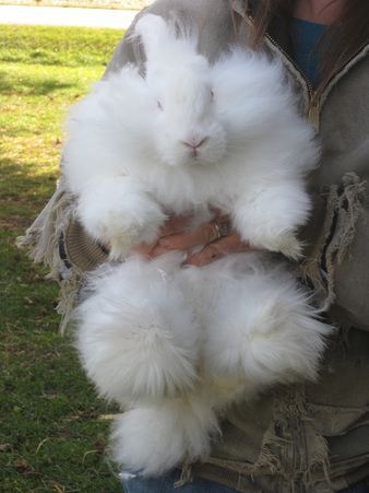 giant angora rabbit this is where my buns come from awesome lady