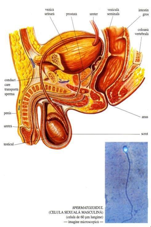 Componentele aparatului reproducător mascul | Anatomy | Pinterest ...