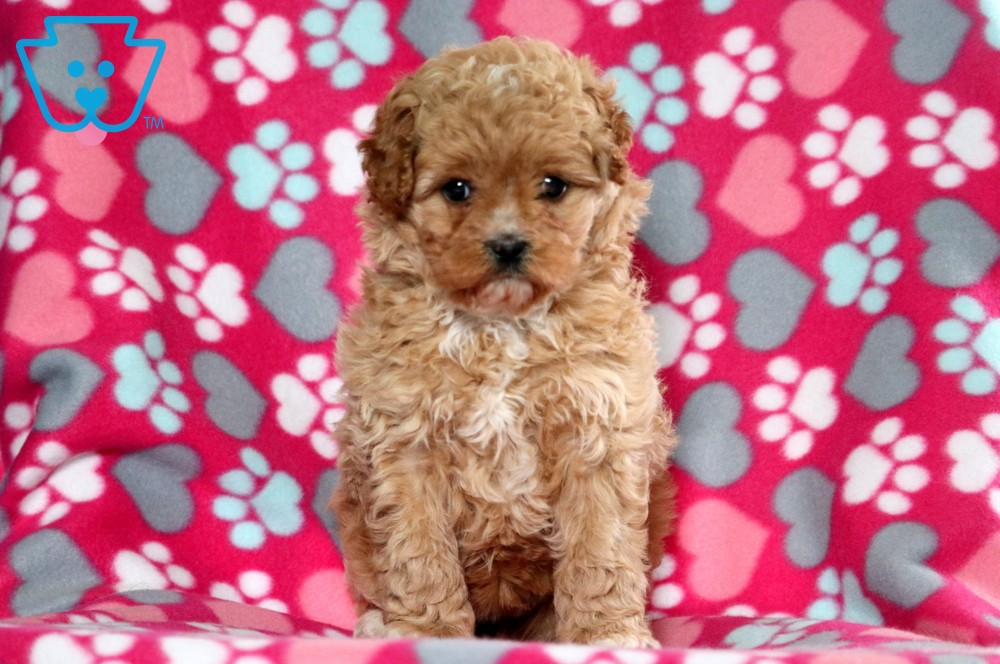 Tessa Cavapoo Puppy For Sale Keystone Puppies In 2020 Cavapoo Puppies For Sale Cavapoo Puppies Puppies For Sale