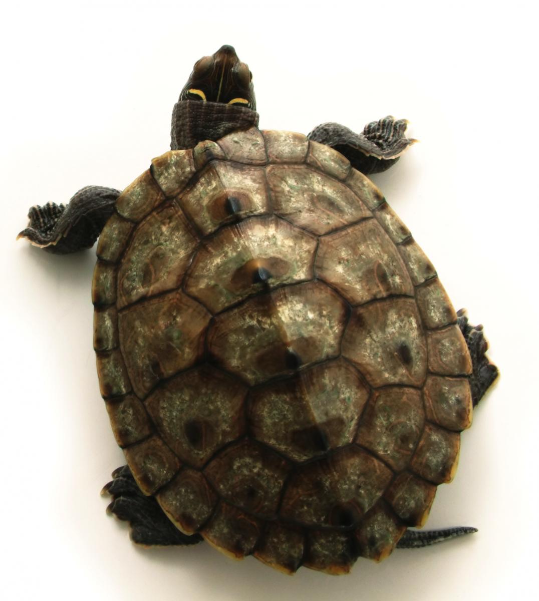 Turtle Shell Google Search Tartarugas