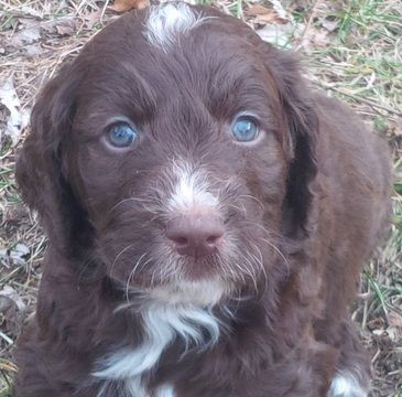 Standard poodle puppies for sale ri