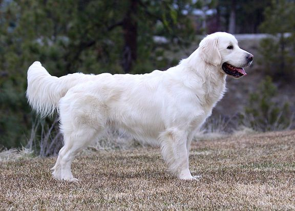 Golden Retriever Noble Loyal Companions English Golden