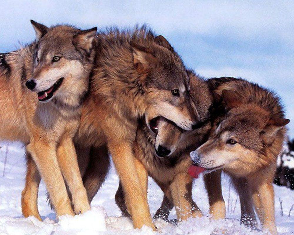 Lupi Wolves Perché si dice in bocca al lupo?