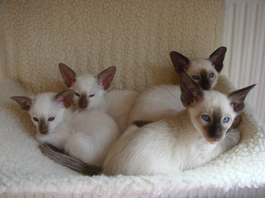 50 Cute Siamese Kittens for Adoption